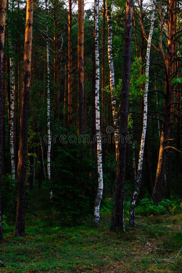 Sunset in the forest. Sunset lights in the green forest background in the evening stock image