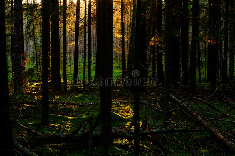 Sunset in the forest. Sunset lights in the green forest background in the evening stock images