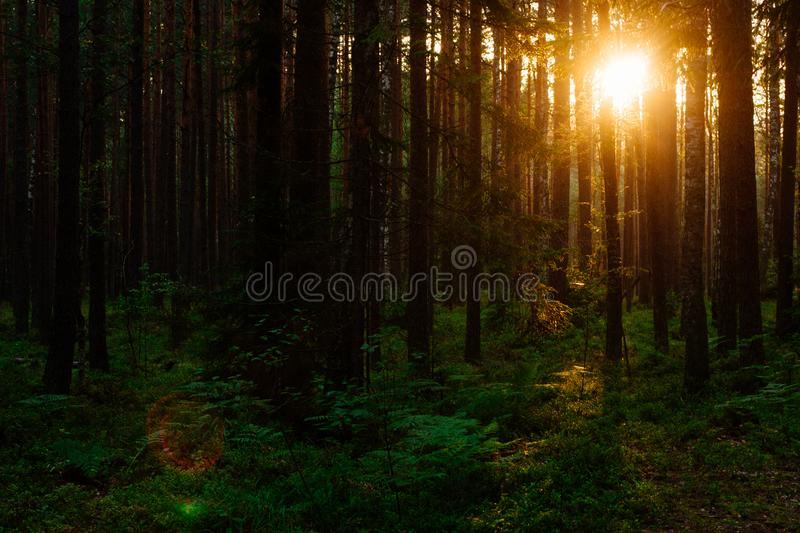 Sunset in the forest. Sunset lights in the green forest background in the evening royalty free stock photography