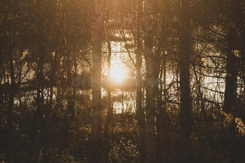 Sunset in the forest. sunlight shines through the trees royalty free stock photo