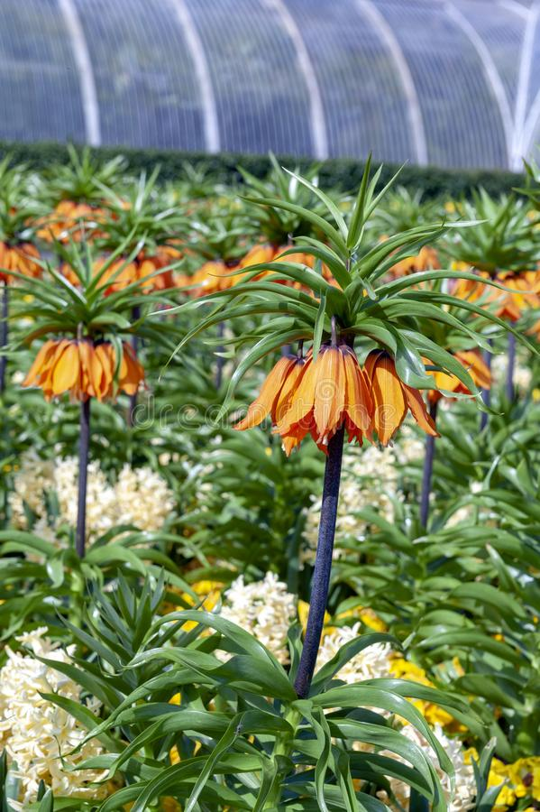Sunset, Fritillaria imperialis crown imperial, imperial fritillary or Kaiser`s crown, species of flowering plant in lily family royalty free stock images