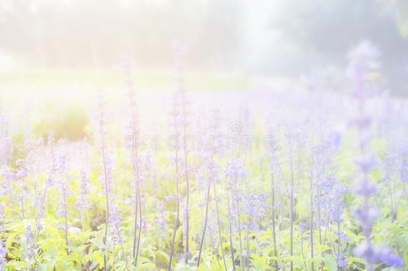 Sunset gleam over purple flowers of lavender for background and wallpaper royalty free stock photos