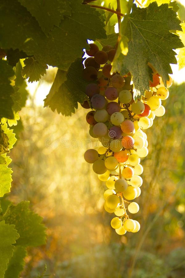 Sunset Grapes. In Amador County, California, zinfandel grapes grow on the vine just before the harvest and crush stock image