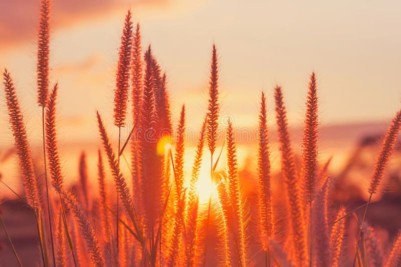 sunset/grass flower with sunset background. Grass flower at sunset stock photo