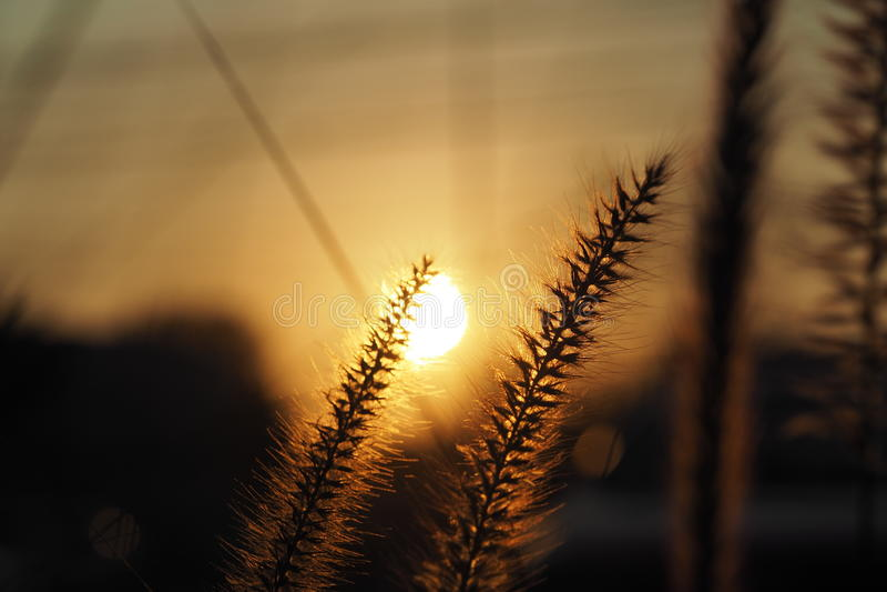 Sunset/Grass flower with sunset light background. Sunset/Grass flower closeup with sunset light background stock photography