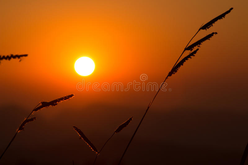 Sunset grass in sunset field stock image