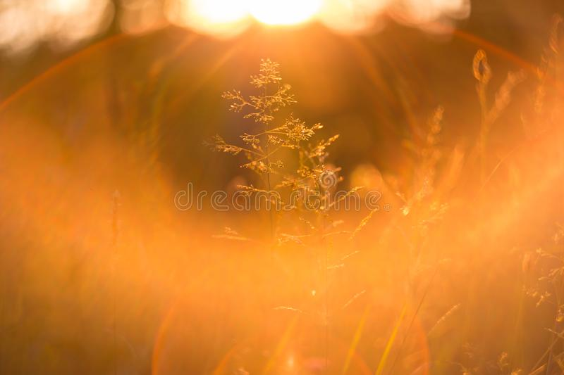 Sunset grass under soft sunlight and sun rays. Abstract nature background stock photography