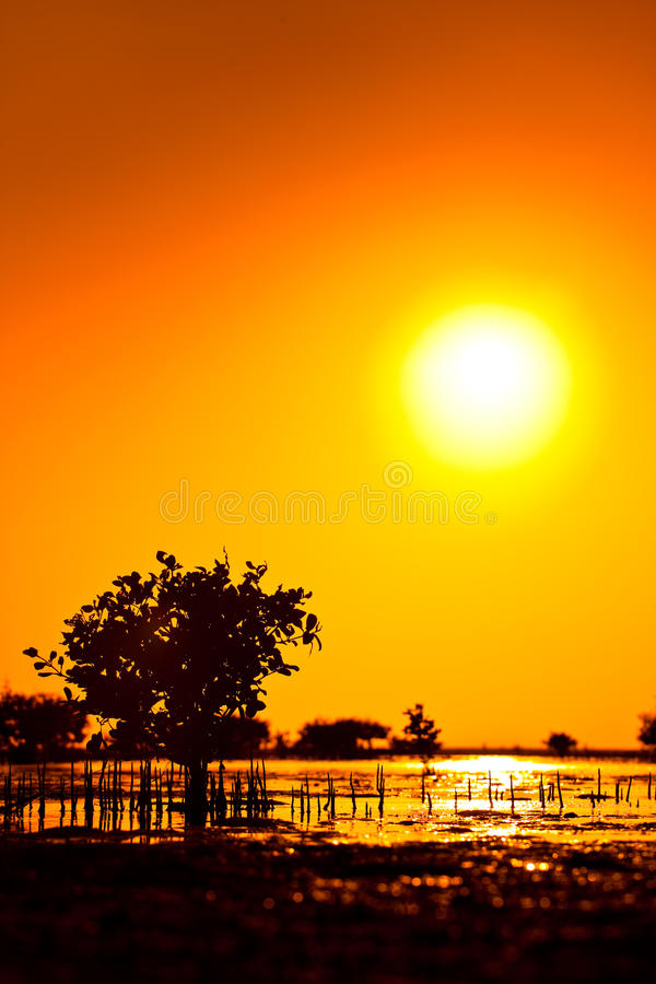 Download Sunset With Kandelia Candel In The Sea Stock Photo - Image: 12330588