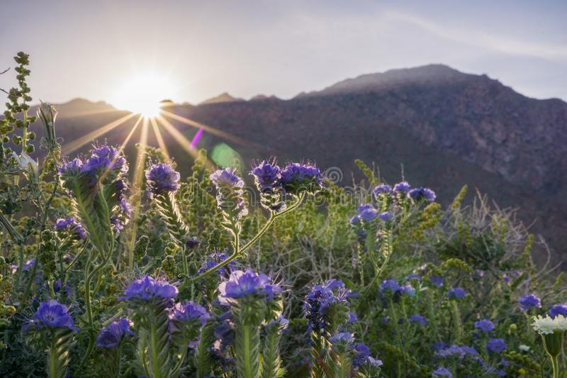 Sunset landscape in Anza Borrego Desert State Park during a spring super bloom, California stock photos