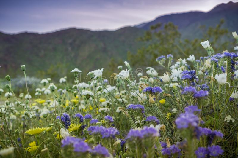 Sunset landscape in Anza Borrego Desert State Park during a spring super bloom, California stock photography
