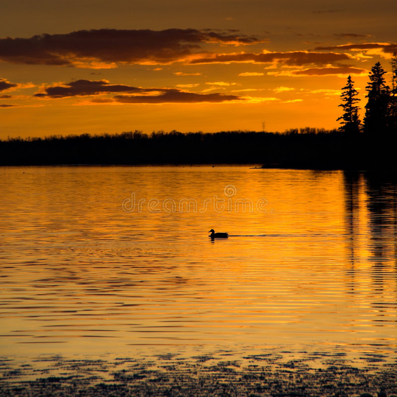 Free Sunset Loon Royalty Free Stock Photography - 417467