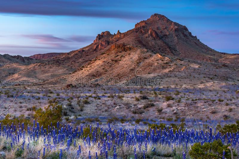 Sunset on the mountain in Big Bend National Park. With blue bonnets in the foreground and covering the field stock image