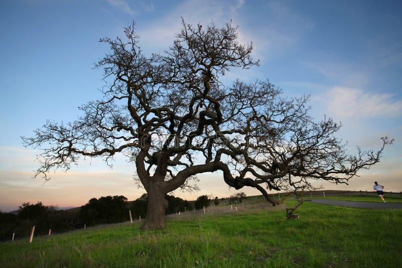 sunset oak tree obraz royalty free