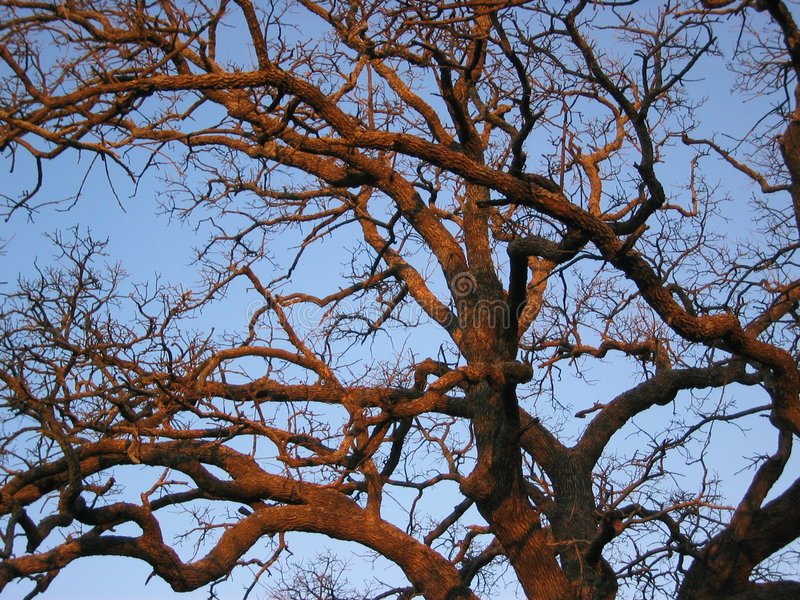 Sunset Oak Tree royalty free stock photography