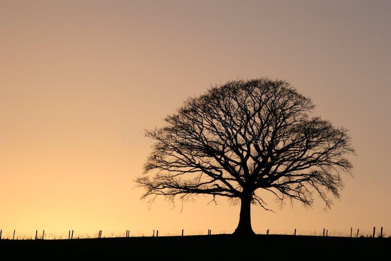 sunset oak tree fotografia royalty free