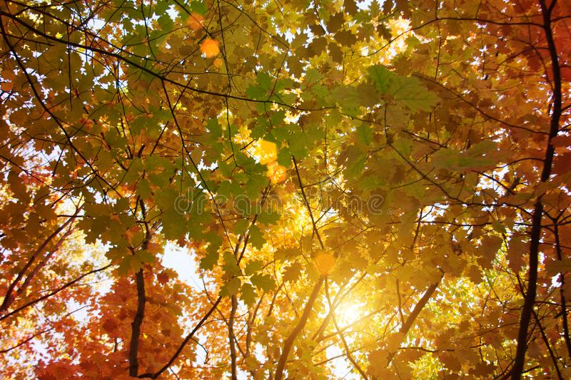 Sunset and oak trees. Sunlight through tree foliage. Yellow, red, green leaves in sunlight. Beautiful leaves background royalty free stock photo