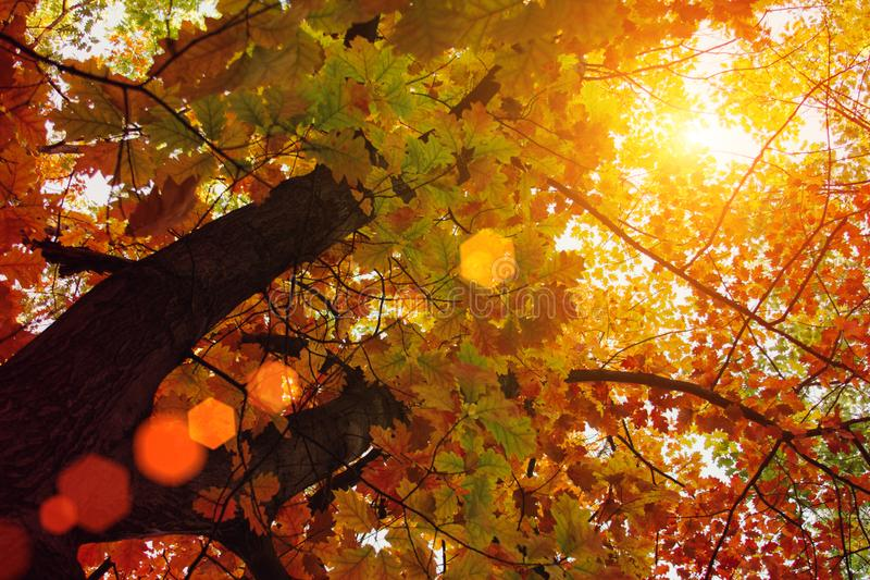 Sunset and oak trees. Sunlight through tree foliage. Yellow, red, green leaves in sunlight. Beautiful leaves background royalty free stock images
