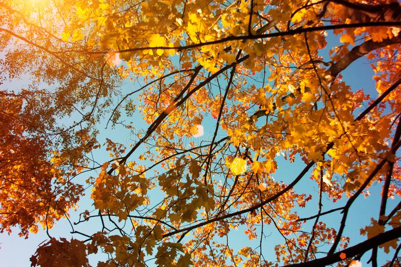 Sunset and oak trees. Sunlight through tree foliage. Yellow, red, green leaves in sunlight. Beautiful leaves background stock photos