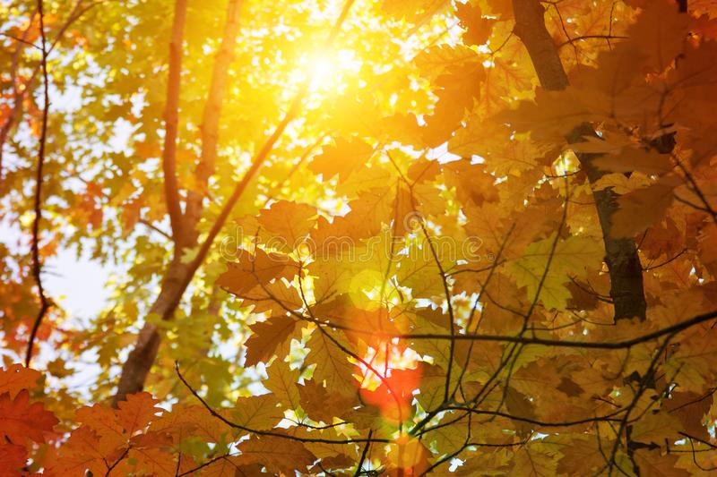 Sunset and oak trees. Sunlight through tree foliage. Yellow, red, green leaves in sunlight. Beautiful leaves background stock image