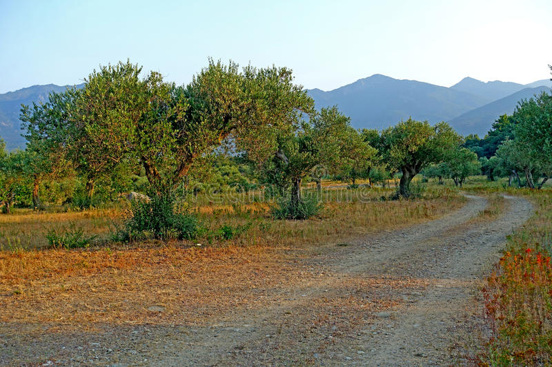 Sunset olive trees in the region of Catalonia Spain royalty free stock photography