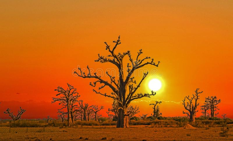 Sunset over baobabs in Africa. The sky has beautiful golden and red colors. It is a beautiful natural background stock images