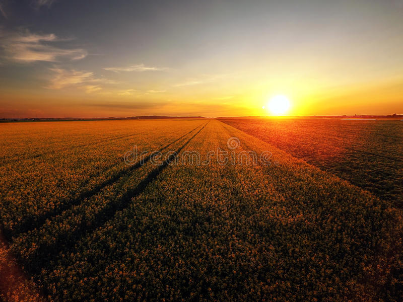 Sunset over blooming canola. Sunset over canola field in bloom royalty free stock photo