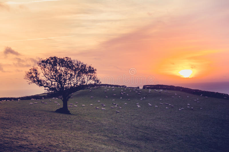 Sunset over field with sheep in the distance stock images