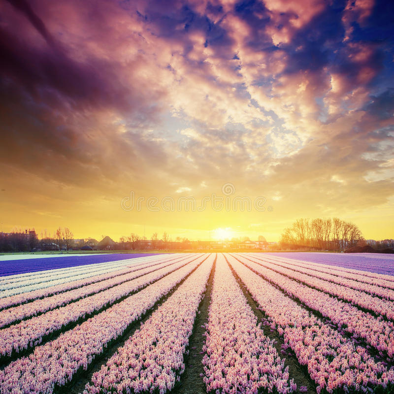 Sunset over fields of daffodils. Holland. Europe. Sunset over fields of daffodils. Holland Europe stock photos