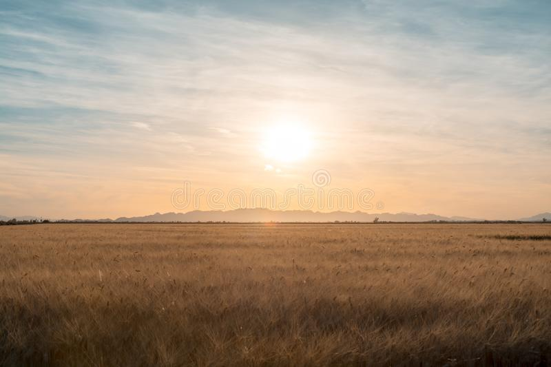 Sunset over a golden field. royalty free stock images
