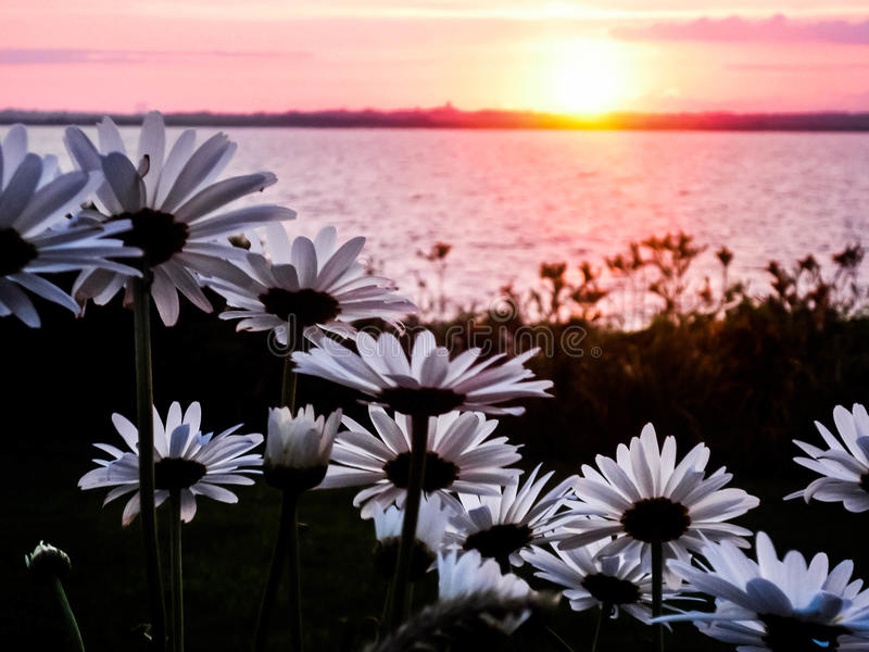 Sunset over Newport with Daisies in Foreground stock photos