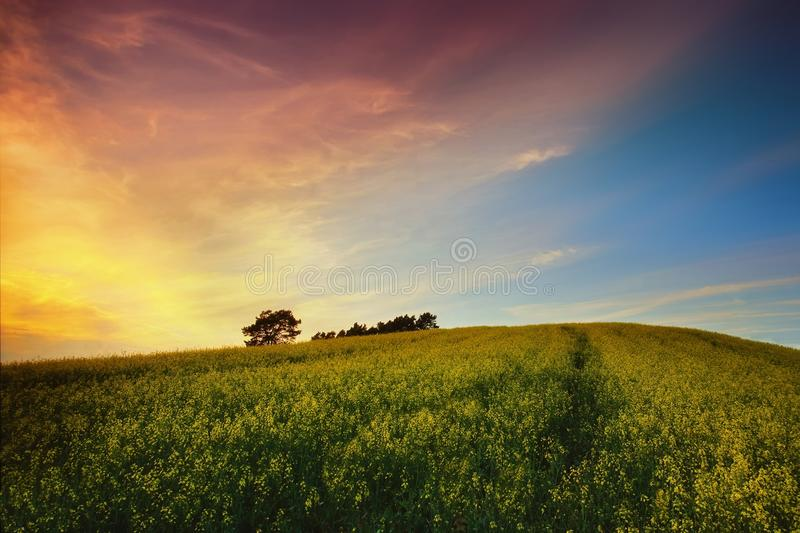 Sunset over rapeseed field. On the hill and trees royalty free stock image