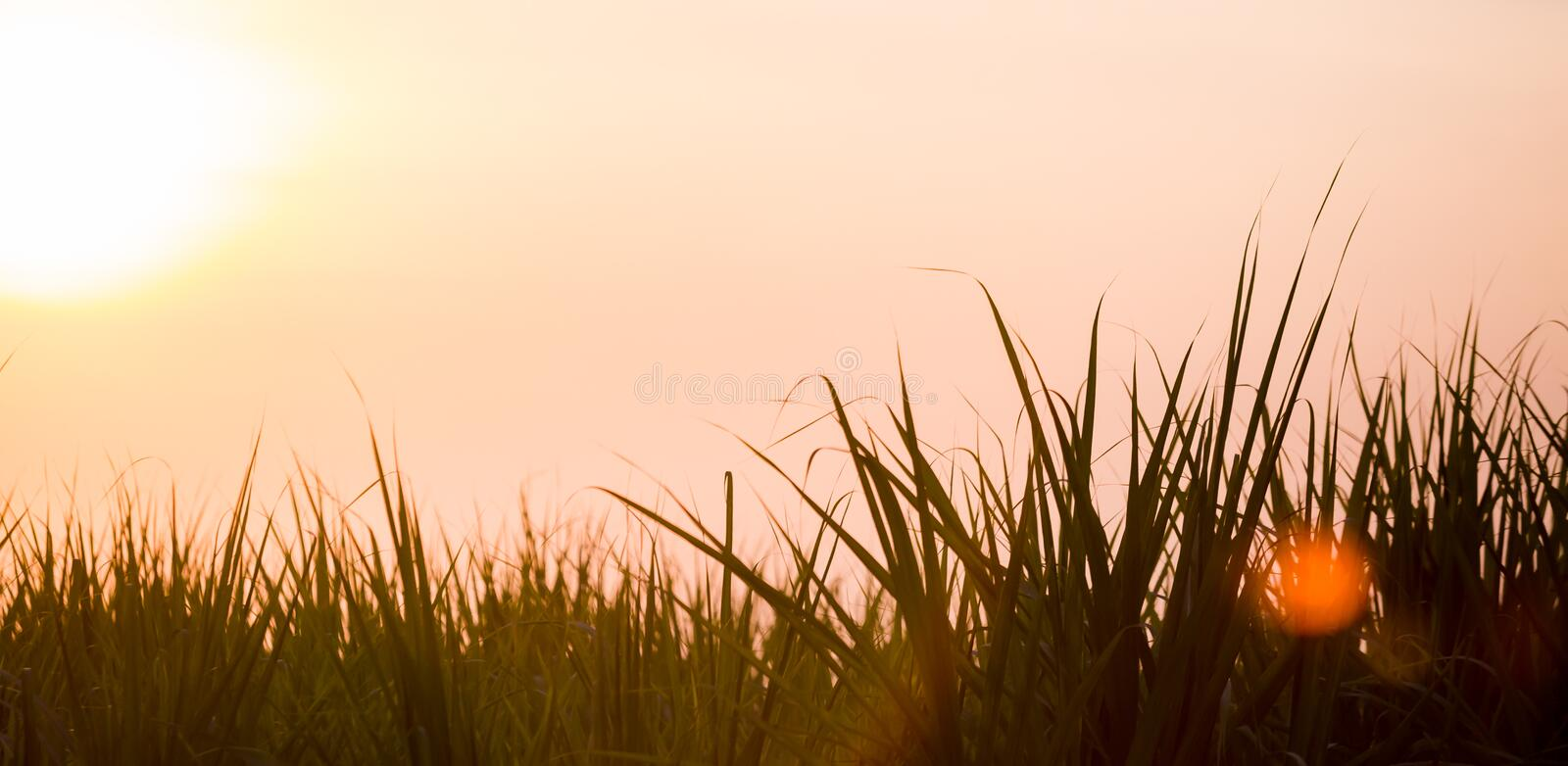 Sunset over sugar cane field royalty free stock photography
