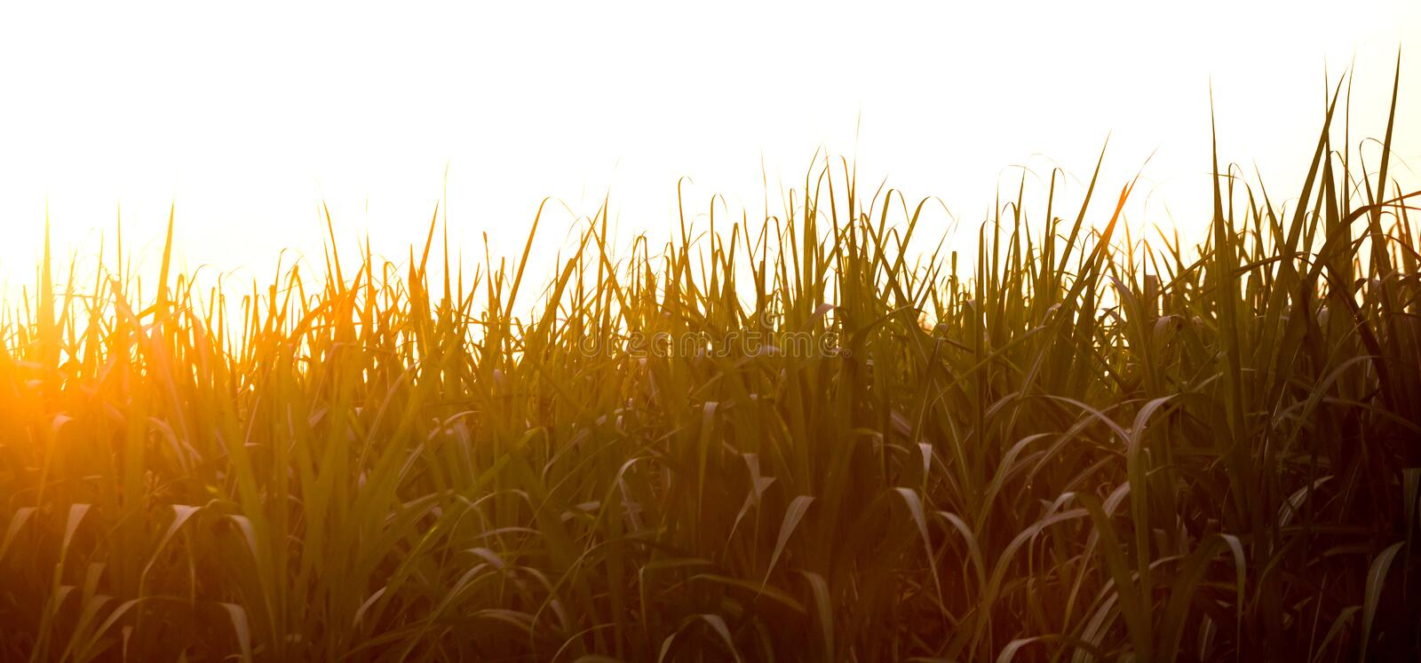 Sunset over sugar cane field stock images