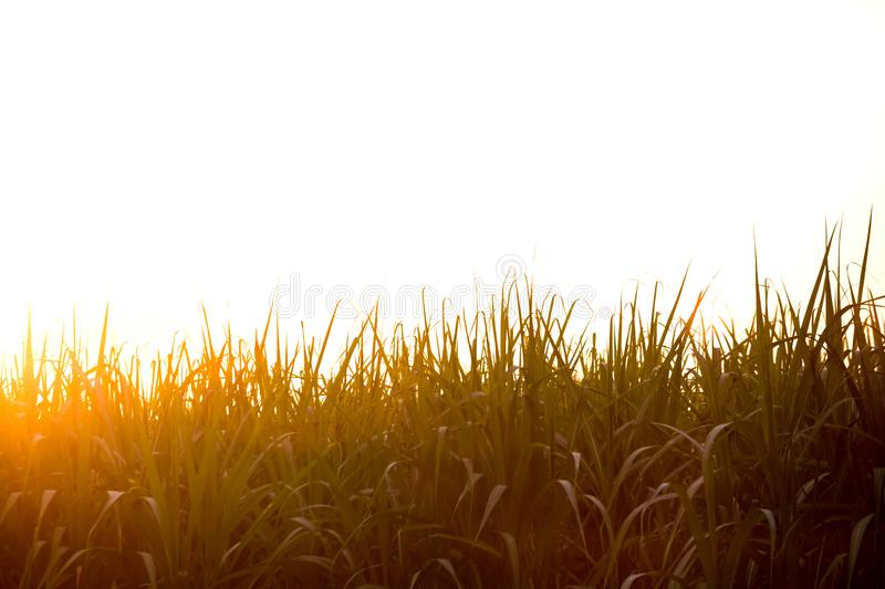 Sunset over sugar cane field stock image