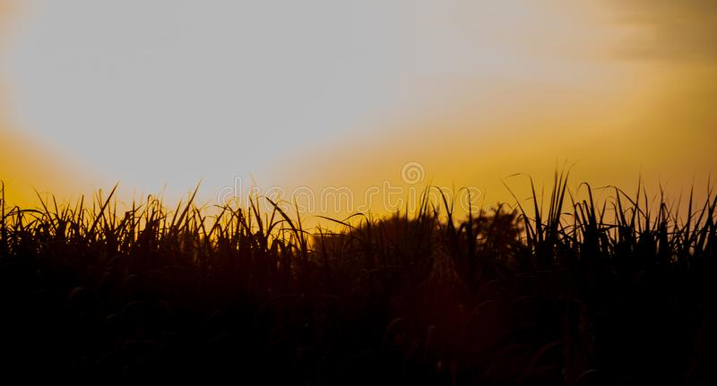 Sunset over sugar cane field royalty free stock image