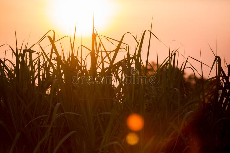 Sunset over sugar cane field stock photos