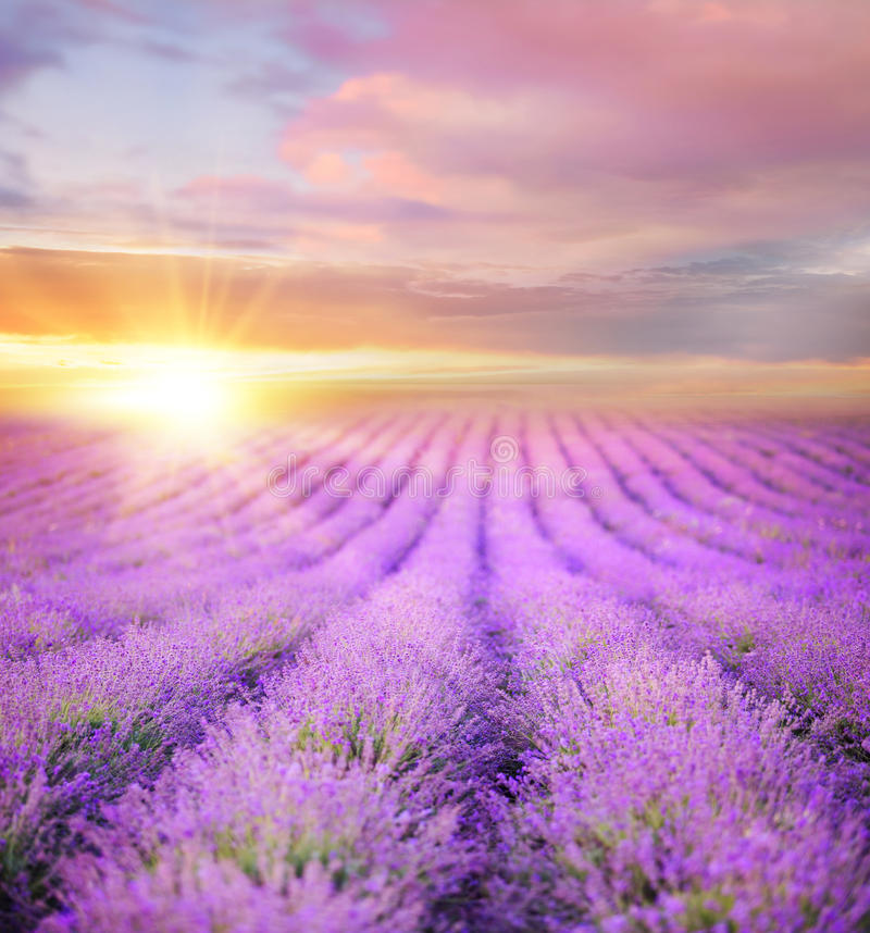 Sunset over a summer lavender field. Sunset over a summer lavender field, looks like in Provence, France. Lavender field. Beautiful image of lavender field over royalty free stock photography
