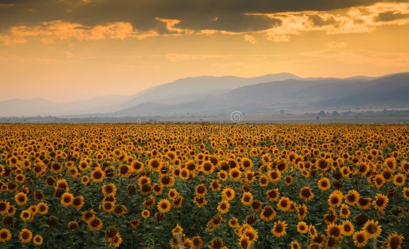 Sunset Over A Sunflower Field Stock Photos
