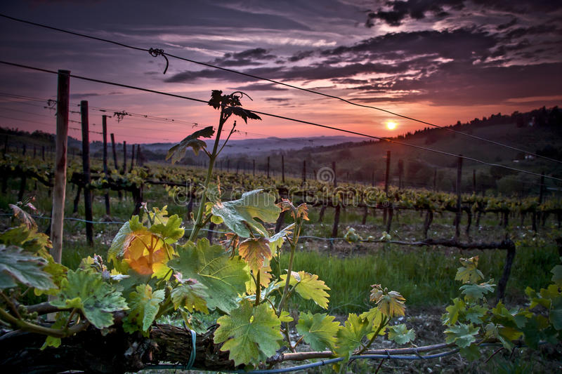 Sunset over the vineyard stock image