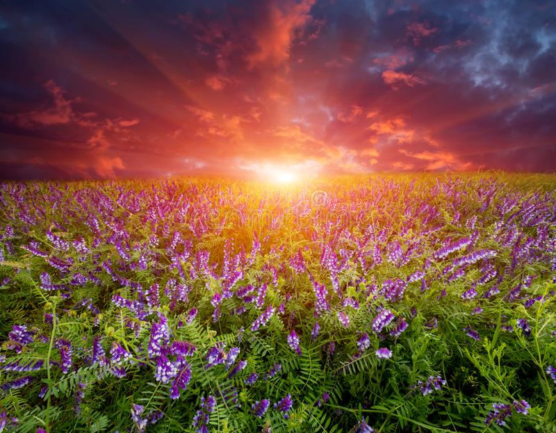 Sunset over wild flower meadow stock photo