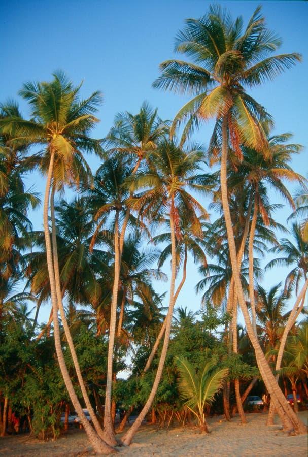 sunset palmowi drzewa obraz royalty free