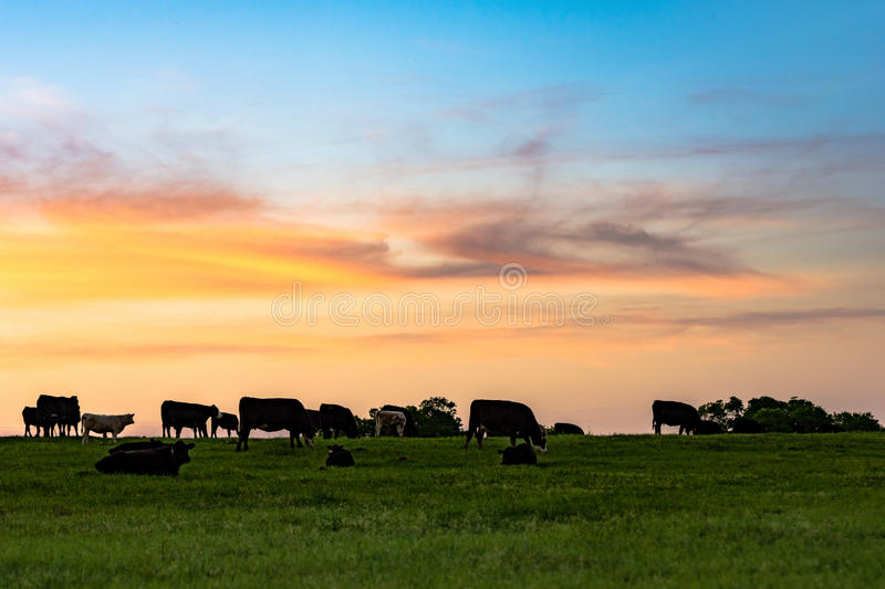 Sunset Pasture. Background of cattle on a pasture at dusk with colorful sky royalty free stock photo