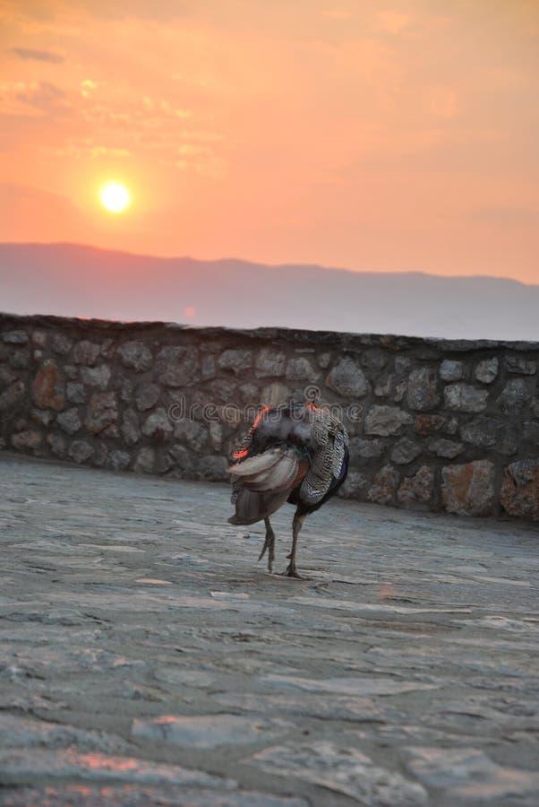 Sunset & peacock stock image