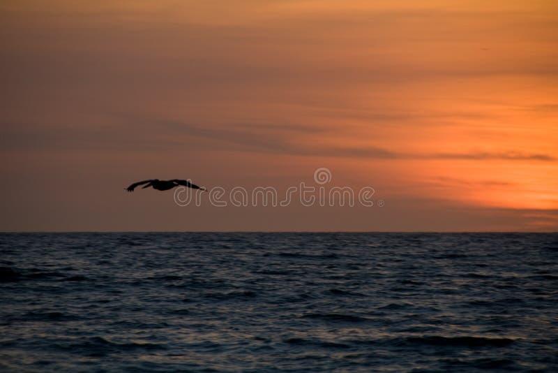 Download Sunset pelikan stock image. Image of magic, alone, lonely - 7752729