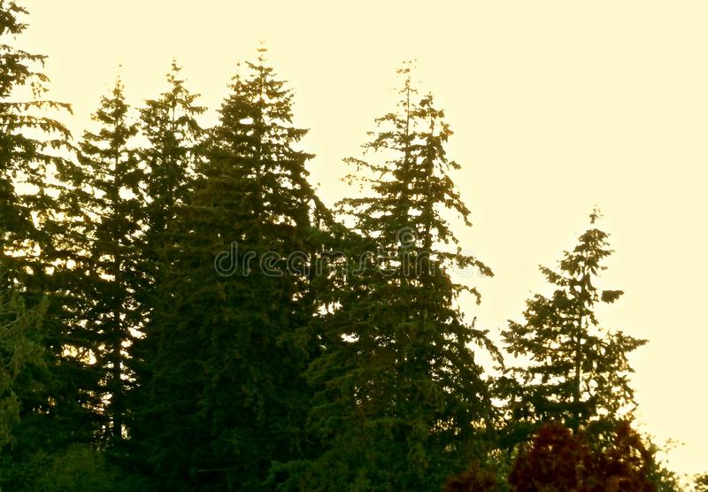 Evergreen trees in Washington State. | Being Green at S27 ... |Washington Evergreen Trees