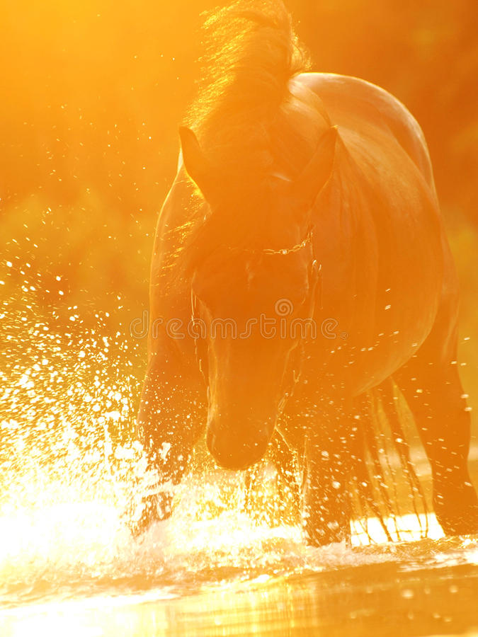 Sunset plaeing horse royalty free stock image