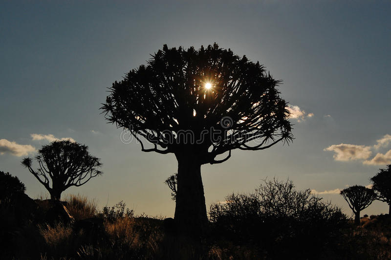 Download Sunset In Quiver Tree Forest Stock Photo - Image: 25943472