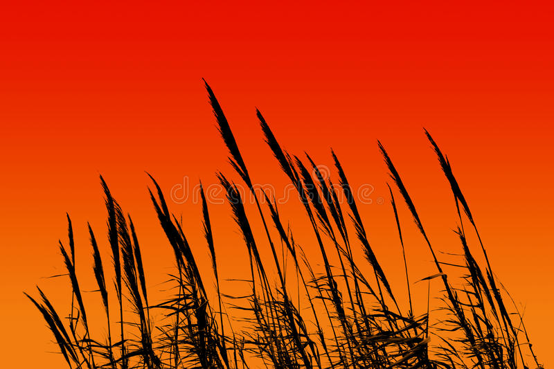 Sunset reed. Reed silhouette When the sun was setting stock image