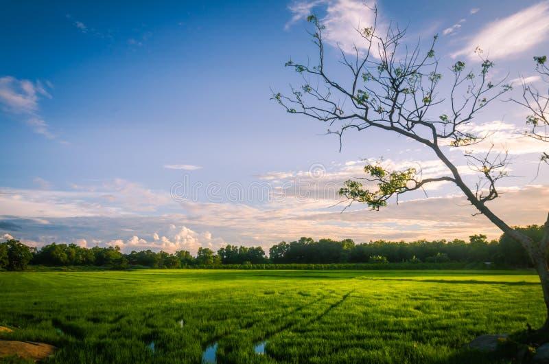 Sunset on the rice field in vietnam. stock photos