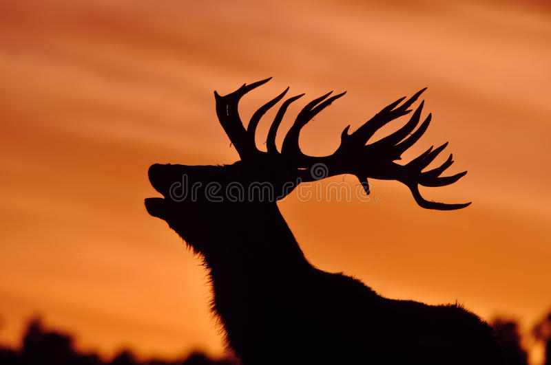 Sunset roar. Red deer stag roaring at sunset stock image